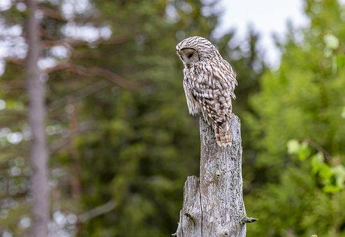 ural-owl-5596815__340